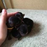 Щенки, детки йоркширского терьера ( бронь ), Новосибирск