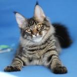 Котик шикарный малыш, Новосибирск