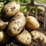 Картофель отборный, Новосибирск