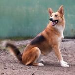 Очаровательная собачка-лисичка овчароидного типа Мотя! В частный дом!, Новосибирск