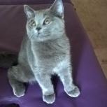 Продам британского котёнка (мальчик), Новосибирск