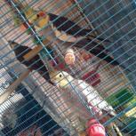 Попугаи кореллы домашнего разведения ! :), Новосибирск