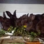 Срочно продаются крольчата, Новосибирск