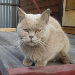 найдена кошка бежевого цвета на даче СНТ Рассвет, Новосибирск