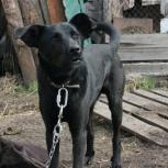 Статный красавец, собака  Черныш ищет дом и хозяев! 1 год, Новосибирск