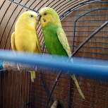 Пара волнистых попугаев, Новосибирск