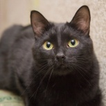 Черный кот-красавчик Майчик! Ласковый, понятливый, воспитанный., Новосибирск