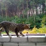 Кошка Американский бобтейл, Новосибирск