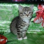 Кошка Девочка Бобтейл, Новосибирск