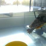 Продаю аквариум с  2 красноухими черепашками, Новосибирск