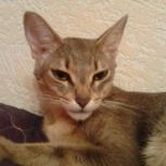вязка нужен кот абиссин для кошечки, Новосибирск