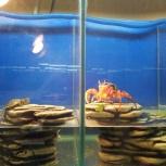 Аквариумная рыба и рыбки. цихлиды, гуппи и корм, Новосибирск