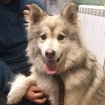 Найдена молодая собака в Марусино., Новосибирск