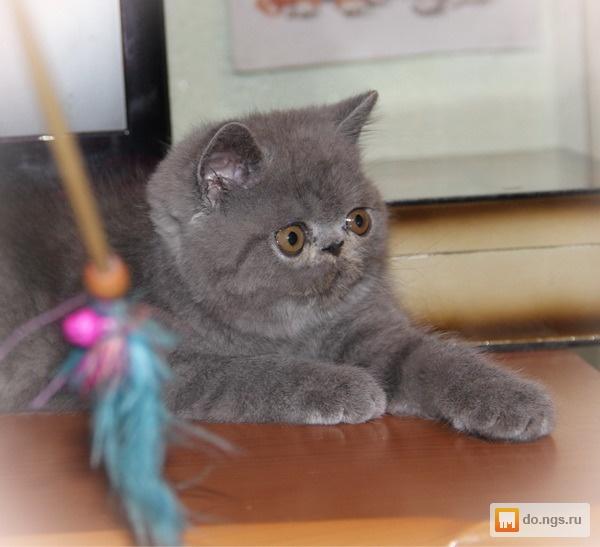 Кот экзот в новосибирске