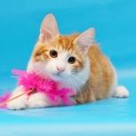 Предлагаются к продаже чистокровные котята от титулованных родителей, Новосибирск