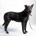 Черная красавица Лора ищет дом! Отдам собаку, Новосибирск