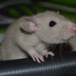 Редкого окраса крысята дамбо бурмизы, сфинксы, Новосибирск
