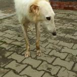 Найдена собака породы русская борзая, Новосибирск