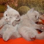 Породистые плюшевые котятки британчики 1.5 месяца, Новосибирск