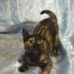 Кошка Трехцветочка Искра, 8 месяцев(стерилизованаая), Новосибирск