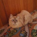 Молодой невский котик, Новосибирск