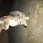 Найдена маленькая кошечка, Новосибирск