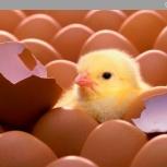 Яйцо инкубационное, Новосибирск