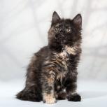 Замечательная девочка курильского бобтейла (кошка), Новосибирск