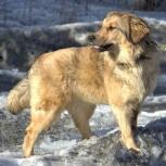 Пушистая красавица Жужа (щенок) ищет надежного хозяина, Новосибирск