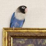 Неразлучник попугай, Новосибирск