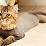 Стрижка кошек, Новосибирск