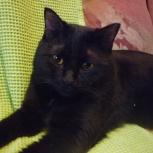 Великолепный черный кот Беня-Бенджамин., Новосибирск