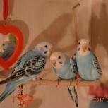 продам волнистых попугайчиков, Новосибирск