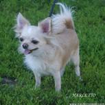потерялась собака Чихуа-Хуа, Новосибирск