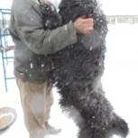 потерялся пес, русский черный терьер, Новосибирск
