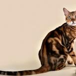 Продам бенгальских котят, Новосибирск