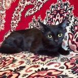 Юная черная красавица – кошечка Африка!, Новосибирск