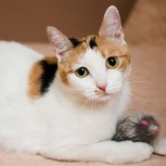 Трехцветная красавица-кошка Марго ♥, Новосибирск