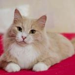 Красавчик кот Персей в самые надежные руки!, Новосибирск