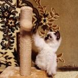 Сиамские котята - кошечки., Новосибирск