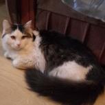 Счастливчик кот Бард 6 месяцев (кастрат), Новосибирск