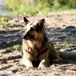 В добрые руки собака, метис овчарки, Новосибирск