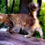 Котёнок помесь бобтейла, Новосибирск