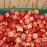 Продам дачные яблоки, Новосибирск