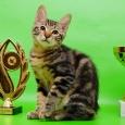 Капитон-котенок Шоу-класса из питомника, Новосибирск