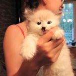 Кошка Невская краса, Новосибирск