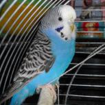 Приму в дар или куплю недорого  волнистого попугая или  кореллу., Новосибирск