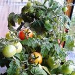 Комнатные, балконные помидорки, Новосибирск