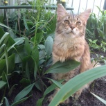 Кошки мейн кун девочки черепашки от Чемпиона Мира!, Новосибирск