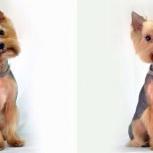 Продам взрослого пса мальчика йорка, Новосибирск